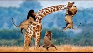 Video: Incredible Big Cats Hunting Skills including Lions Cheetah Tiger Jaguar Leopard